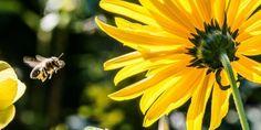 pszczoła fot. Christian_Birkholz Pixabay