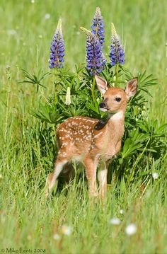 Baby Deer with Spring Lupines ☀Awe. Bambi ~ Fawn in Field of Lupines by Mike Lentz :) Cute Creatures, Beautiful Creatures, Animals Beautiful, Nature Animals, Animals And Pets, Cute Baby Animals, Funny Animals, Tier Fotos, My Animal