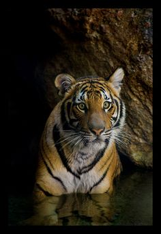 Young tiger - from the shadows.  Go to www.YourTravelVideos.com or just click on photo for home videos and much more on sites like this.