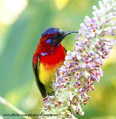 Mrs Gould's Sunbird ( Aethopyga nipalensis ) | Flickr - Photo Sharing!