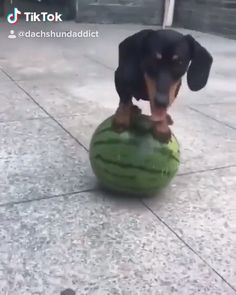 Funny cute dogs dachshund New ideas Funny Dachshund, Dachshund Puppies, Weenie Dogs, Dachshund Love, Funny Dogs, Cute Dogs, Doggies, Cute Animal Videos, Funny Animal Pictures