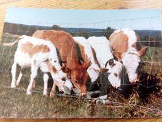Häkkilän vasikat. #Yläpihantila #Sivakka #Sivakkavaara #Häkkinen #maaseutu #maatila #maanviljely #maatalous #kyyttö #alkuperäisrotu #maatiainen