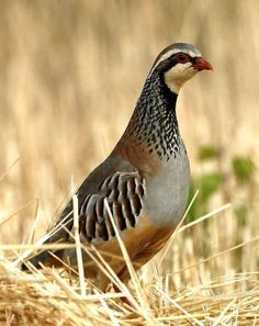 Hunt pheasant birds in the midwest Amazing Animal Pictures, Quail Hunting, Beautiful Bugs, Game Birds, Animal Games, Exotic Birds, Pheasant, Wild Birds, Pictures To Draw