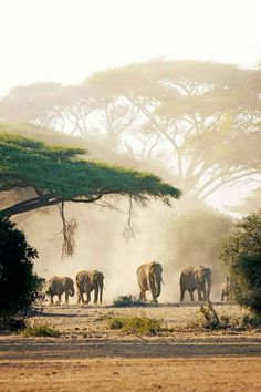 travel idea africa lephants leave cover for the scorched plains of Amboseli National Park in southern Kenya // photo by Philip Lee Harvey Kenya Travel, Africa Travel, African Animals, African Safari, Africa Safari Lodge, Out Of Africa, East Africa, Kenya Africa, Safari Animals