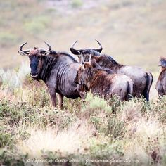 Gondwana recently released a herd of 100 wildebeest onto the Reserve as part of its wildlife management plan. Wildebeest provide a key buffer species from predation allowing existing populations of plains game more opportunity to establish themselves and grow.📸@Raqueldecastromaia