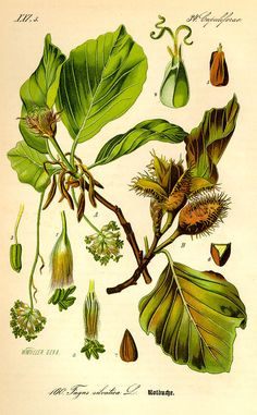 Illustration - Common beech - Fagus sylvatica