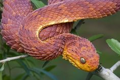 Another beautiful snake, the Bush Viper.  Reminds me of a mythical dragon or something.