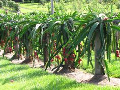 Growing Dragon fruit. Protect from frost!  seedlings: one part peat and one part perlite