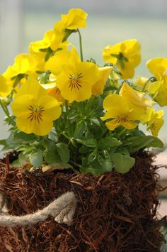 Welcome to my bolg ! What I post are simply things that I love. No pictures are my own.they are all from websites. Pansies, Yellow Flowers, Aqua, Bloom, Spring, Plants, Bouquets, Rain, Gardens