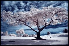 infrared photography | infrared tree
