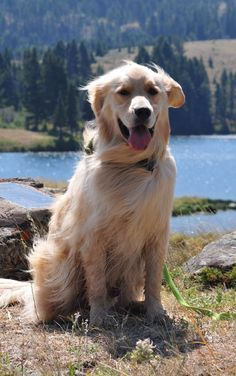 Love of Goldens