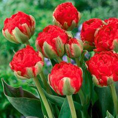 Tulpe Redwood | von Gärtner Pötschke