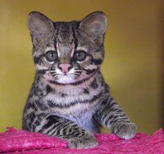 Filhote de Leopardus tigrinus! Très mignon!