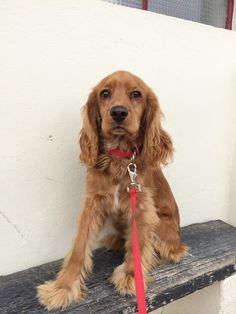 My Dog Lucky in now big and beautiful - Coker Spaniel