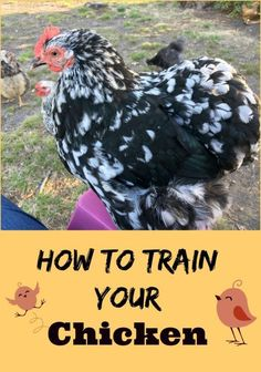 How to Train Your Chicken -- Training your chickens isn't about getting them to jump through hoops. If you free range your chickens, it is important to train them to come back when you call.