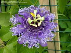 passion flower - Google Search