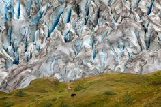 Climbing the Harding Ice-field trail in the rain, has its rewards. I stopped to admire a glacier, only to find an adult black bear eating in front of a glowing blue glacier. (© Colin McCrindle).