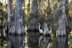 Great Egret, Everglades National Park, Florida (pinned by haw-creek.com)