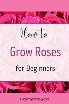 Love roses but think you can't grow them? This post is great for all rose lovers, it's even great for beginners! Click on the pin to grow roses today. #growroses #miniatureroses #climbingroses #rosegarden Beautiful Flowers Garden, Amazing Flowers, Gardening For Beginners, Gardening Tips, Floribunda Roses, Rose Care, Types Of Roses, Growing Roses, Hybrid Tea Roses