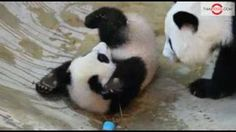 Lin Ping, Thailand's Baby Panda Plays With Mother Lin Hui at Chaingmai Zoo. Little Panda, Panda Love, Cute Panda, Red Panda, Baby Panda Bears, Baby Pandas, Giant Pandas, Funny Babies, Cute Babies