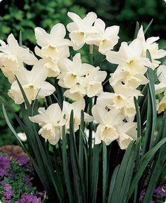 Triandrus Daffodil Tresamble