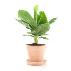 Green Lifestyle Store Bananenplant (Toscaans) - Inclusief Pot - afbeelding 1