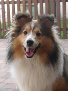 Happy Sheltie