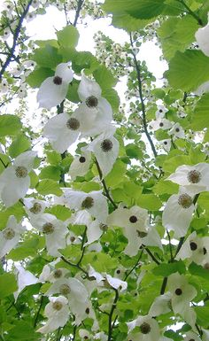 This is a plant's world White Trees, Flowering Trees, Topiary, Cornwall, World, Garden, Nature, Flowers, Plants