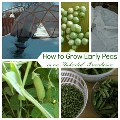 How to plant, protect, grow and harvest early peas in an unheated greenhouse under freezing winter conditions.