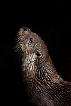 Lutra lutra (European otter)