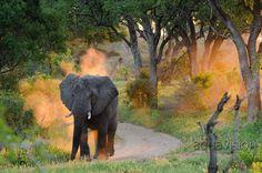 https://flic.kr/p/RUM4nb   Pf170119_ABC4383.jpg   MalaMala Elephant Sunrise