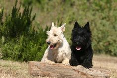 Scottish Terrier, : Appearance, Temperament, Behavior, Qualities, Training, Exercise, Health Issues, Picture, Height and Weight : nextdogbreed.com