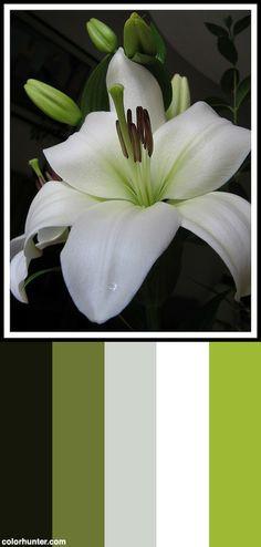Lily [giglio] Color Scheme