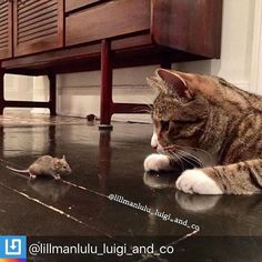 """RepostBy @lillmanlulu_luigi_and_co: """"The cat & mouse game turned on its head. Archie is such a sweet gentle soul he brought us a mouse that he just didn't want to hurt. The mouse kept running and hiding under Archie's armpit for comfort. Archie happily kept mousey warm and safe. Only when the others of the crew arrived did I have to rescue mousey and set him free.  #catandmousegames #catandmouse #tomandjerry #vet_recommended #gentlesoulcat #gentlesoul #igcutest_animals #catstocker #popsocks…"""