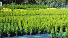 Rośliny ozdobne Thuja Smaragd Tuja Szmaragd Brabant Danica Świerk Jodł Brzozowy Kąt - image 4