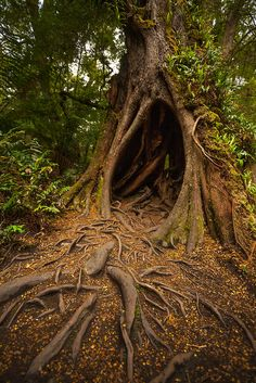 Large hollow tree in the rainforest by Jess Gibbs