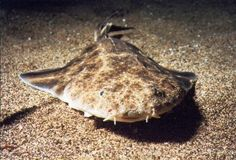 The Angel Shark is among the top 5 most endangered sharks. Through our Angler Outreach Program, Heal the Bay engages fishermen throughout the Santa Monica Bay area to teach anglers about fish contamination. Learn more about Angel Sharks and Angler Outreach here: