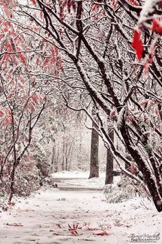 Winter Wonderland.   Love the red leaves against the stark white of the snow and black trees.
