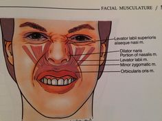 Upper lip and nasal musculature