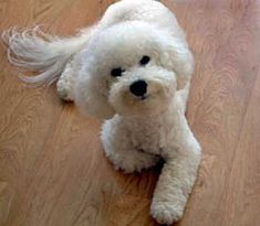 Pet Bichon with a Poodle face and Donut Mustache! Cute!