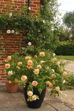 Buy Grace from David Austin with a 5 year guarantee and expert aftercare. Container Plants, Container Gardening, Small Gardens, Outdoor Gardens, David Austin Rosen, Rose Garden Design, Rose Trees, Outdoor Flowers, Vegetable Garden