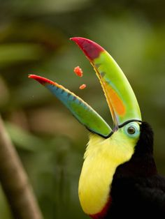 Keel-Billed Toucan Swallowing Pieces of Fruit in its Open Mouth , Costa Rica    by Gregory Basco