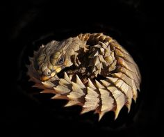 armadillo lizard appears to have many dragon features
