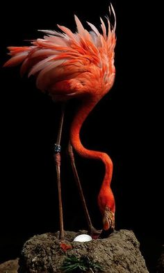 Flamingo - what a beautiful picture of this flamingo with her nest and egg Pretty Birds, Beautiful Birds, Animals Beautiful, Cute Animals, Beautiful Pictures, Kinds Of Birds, All Birds, Love Birds, Flamingo Art