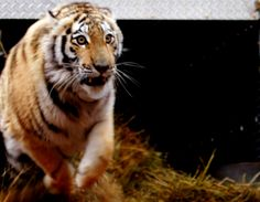 Five Amur tigers continue to thrive in wilds of Russia