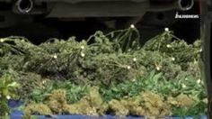 Marijuana seized from a Chino home during an extensive investigation is seen on March (Credit: InlandNews) Vape Online, Buy Weed Online, Online Buying, Weed Pictures, Buy Edibles Online, Weed Edibles, Seeds For Sale, Weed Seeds, Marijuana Plants