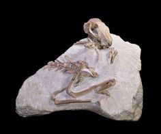 Skeleton of Paleolagus - a 30 million year old fossil (pre)bunny!