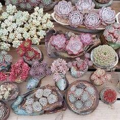 595 отметок «Нравится», 4 комментариев — K-Succulent Nursery (@succulent_nursery) в Instagram: «#succulent #cactus #plant #Echeveria #sedum #agavoides #nursery #green #succulents #nature #flower…»