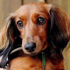 doxie kdblack - click for more images here - by minerva