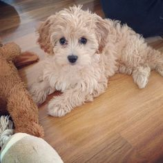 Content filed under the Dog Toys taxonomy. Cute Dogs And Puppies, Little Puppies, Baby Puppies, Baby Dogs, Doggies, Cavapoo Puppies, Cavachon, Maltipoo, Cute Dogs Breeds